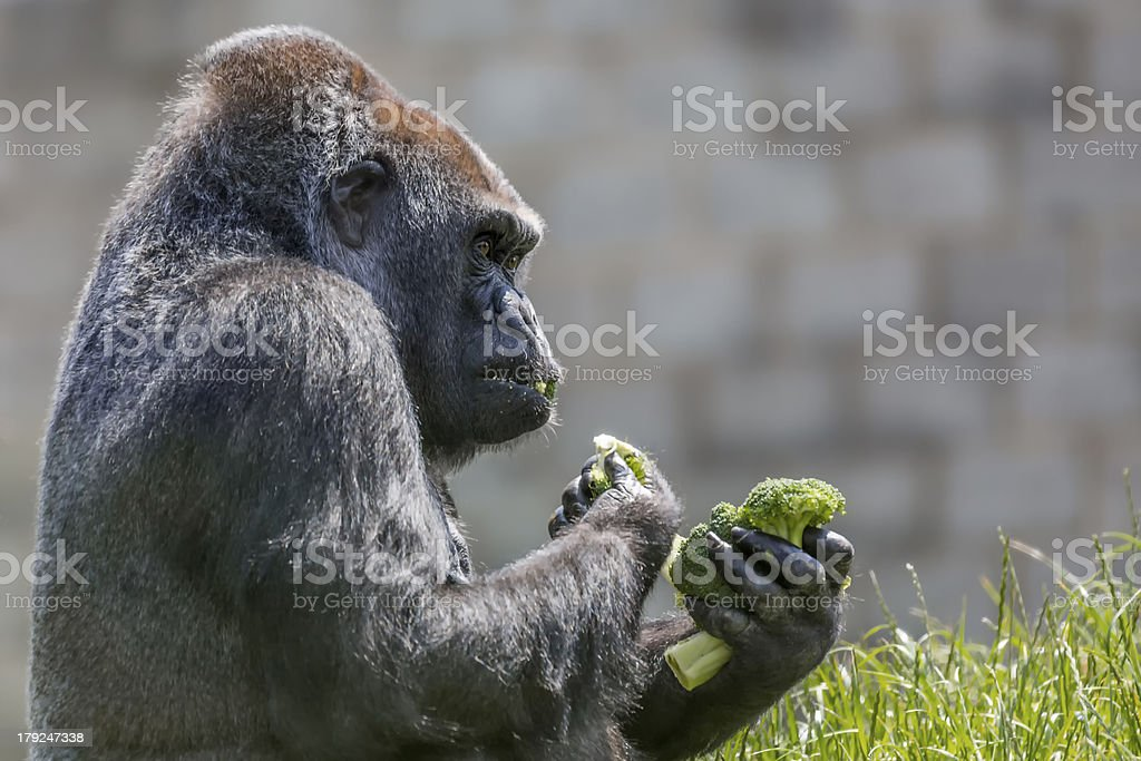 Gorilla Eating royalty-free stock photo