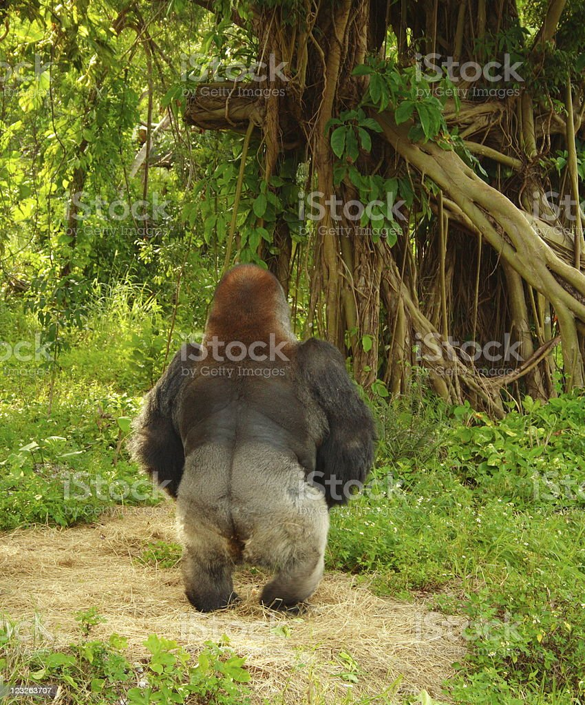 Gorilla In A Zoo royalty-free stock photo