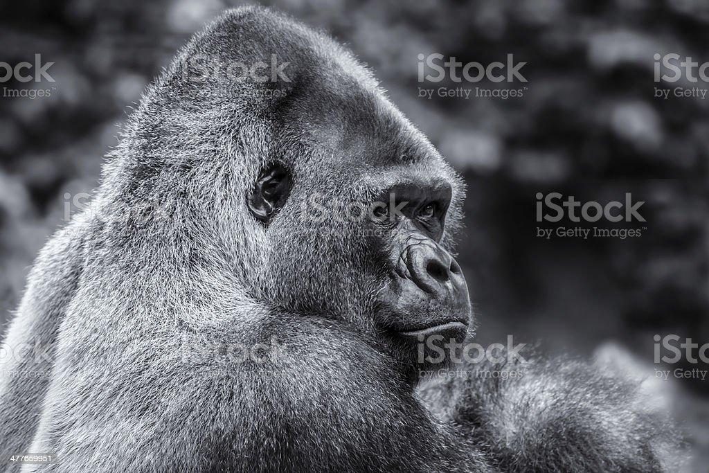 Gorilla in Black & White royalty-free stock photo