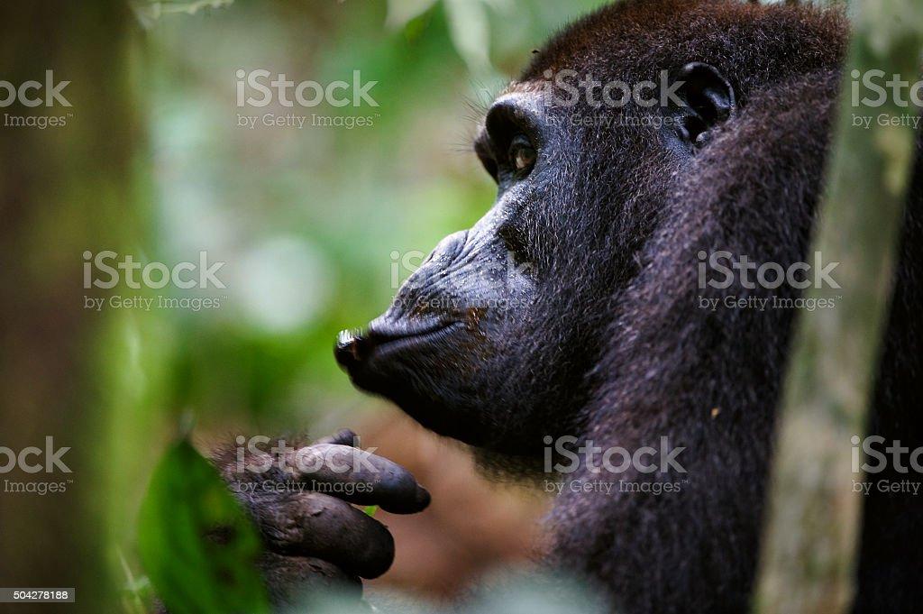 Gorilla in Congo stock photo