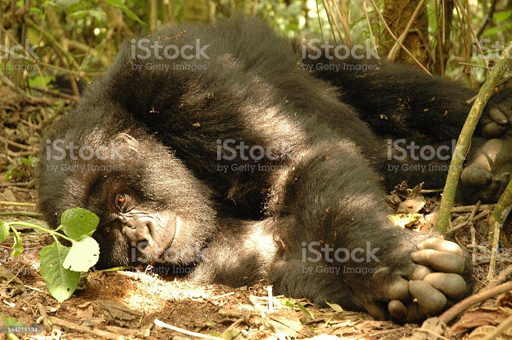 Gorilla in sunshine royalty-free stock photo