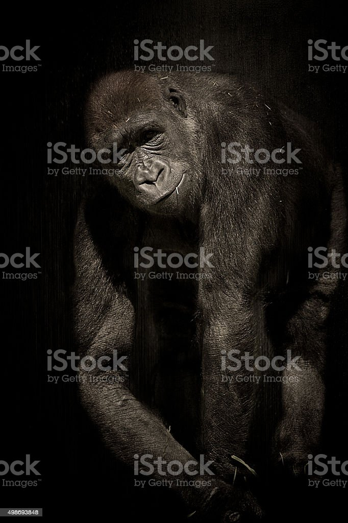 Gorilla in the Shadows royalty-free stock photo