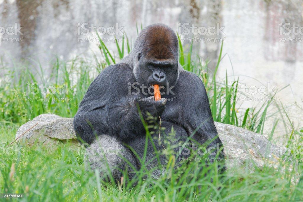 Gorilla, monkey stock photo