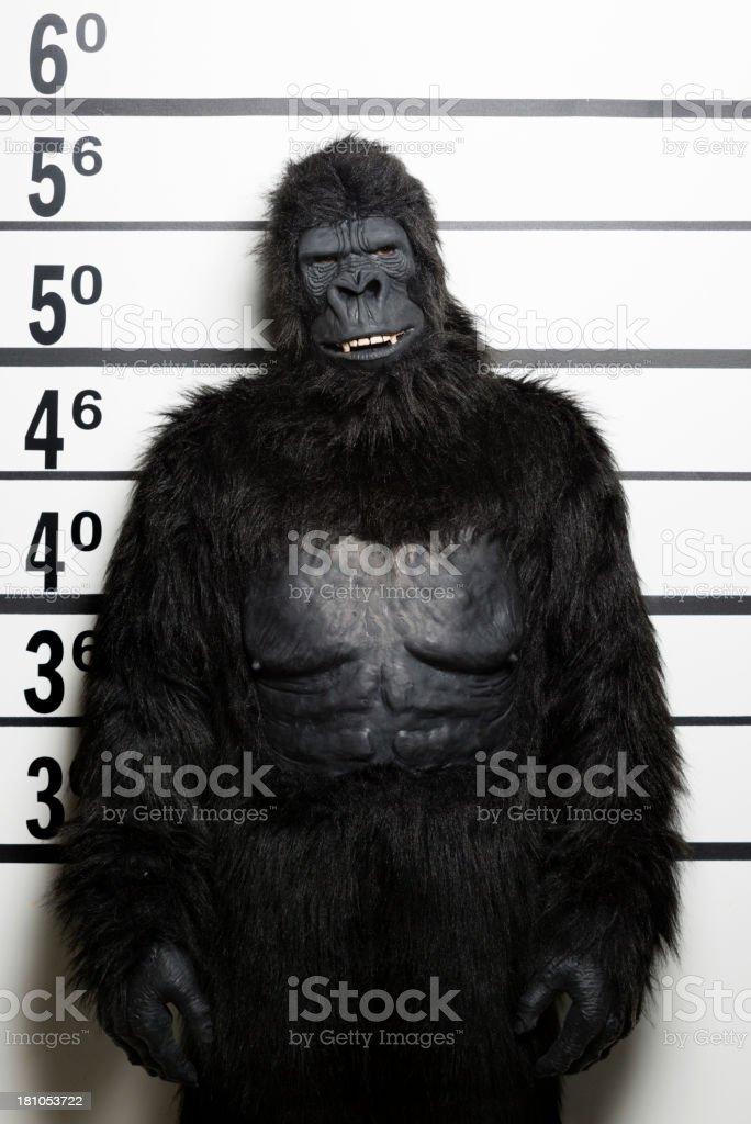 Gorilla Mugshot royalty-free stock photo