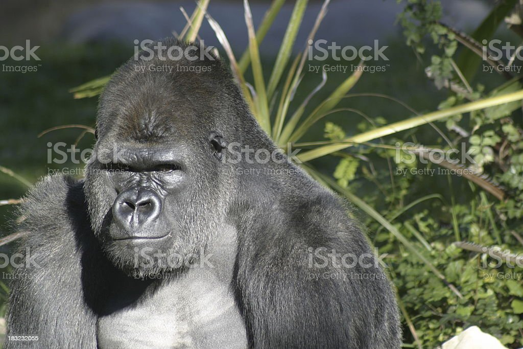 Gorilla royalty-free stock photo