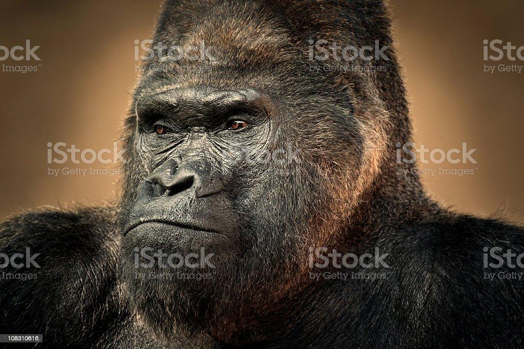 Gorilla Portrait stock photo