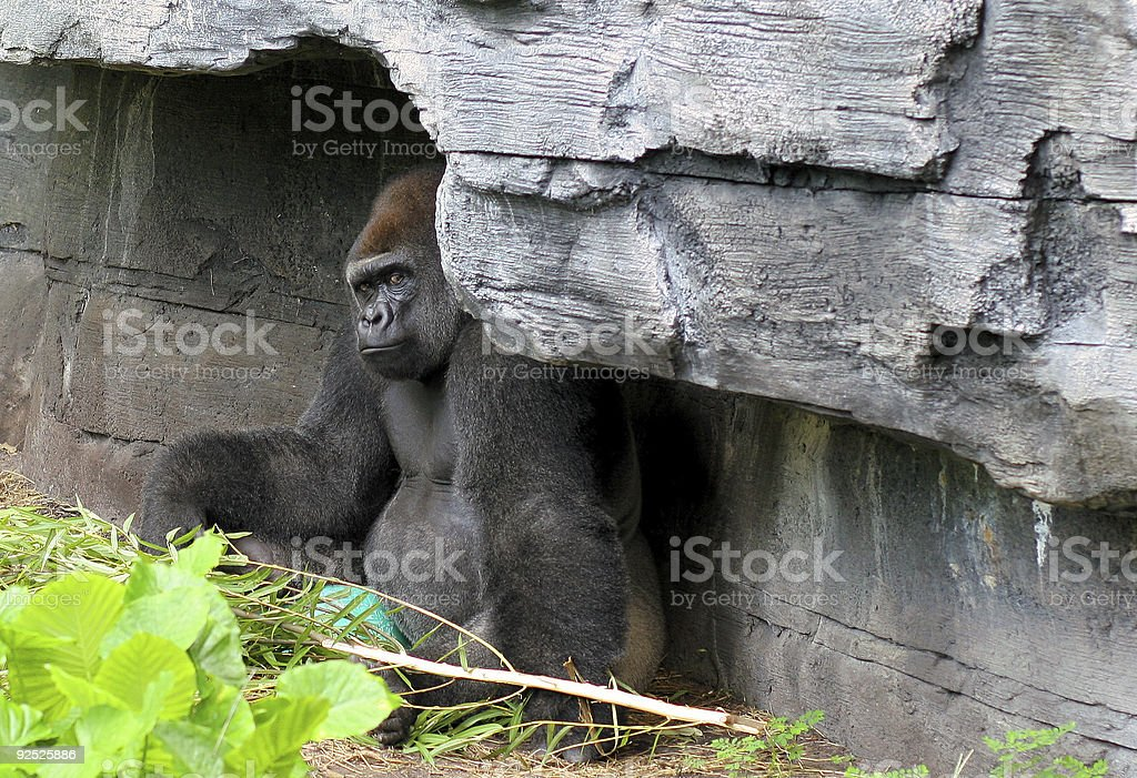 Gorilla resting in the shade royalty-free stock photo