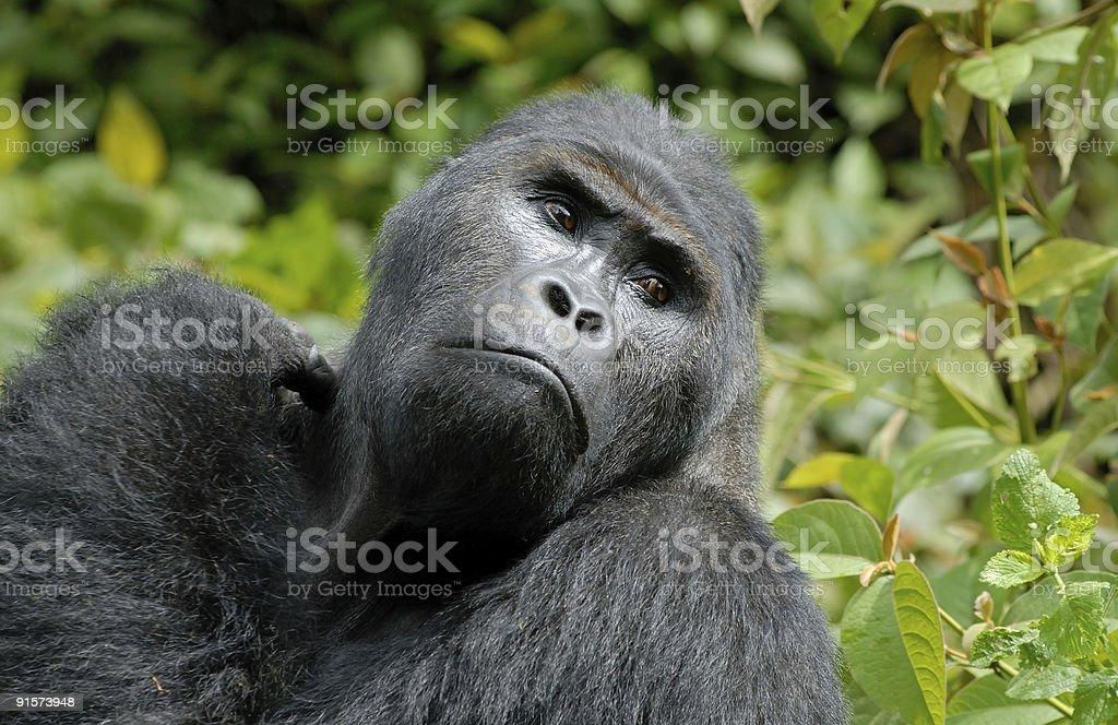 Gorilla Silverback in Congo stock photo