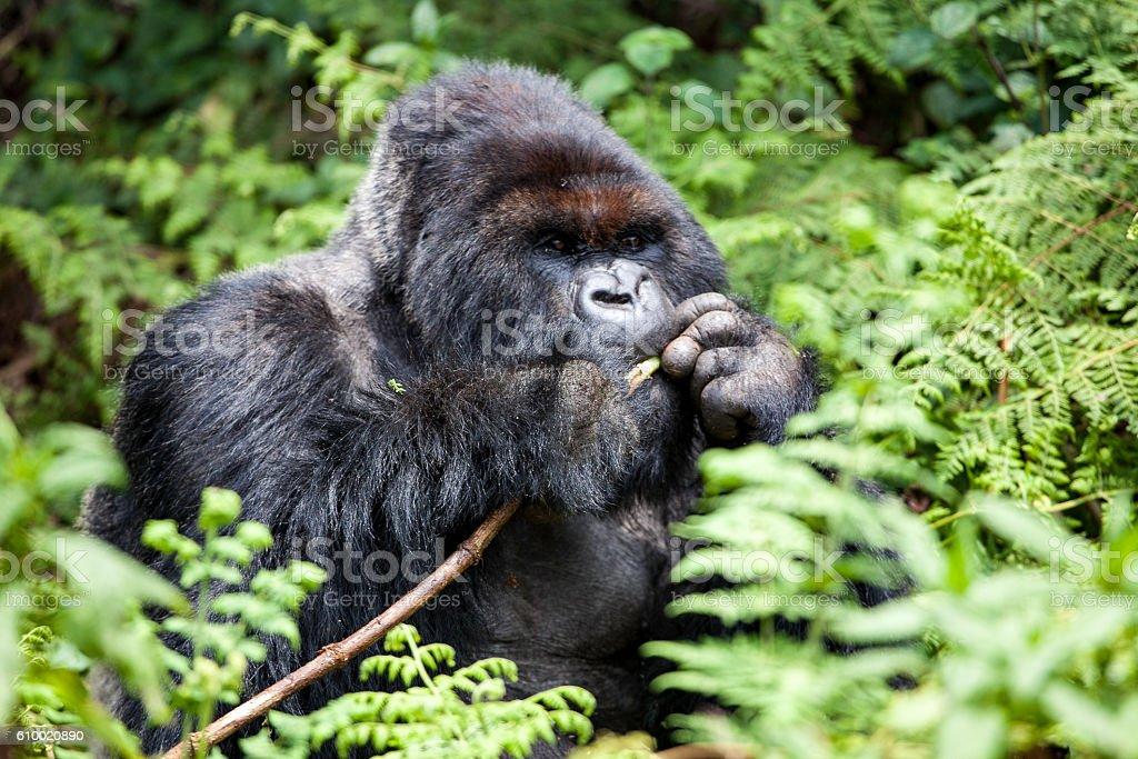 Gorilla Silverback stock photo