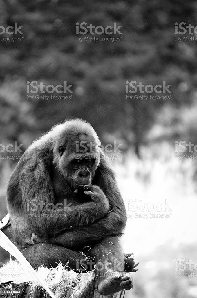 Gorilla sitting and thinking stock photo