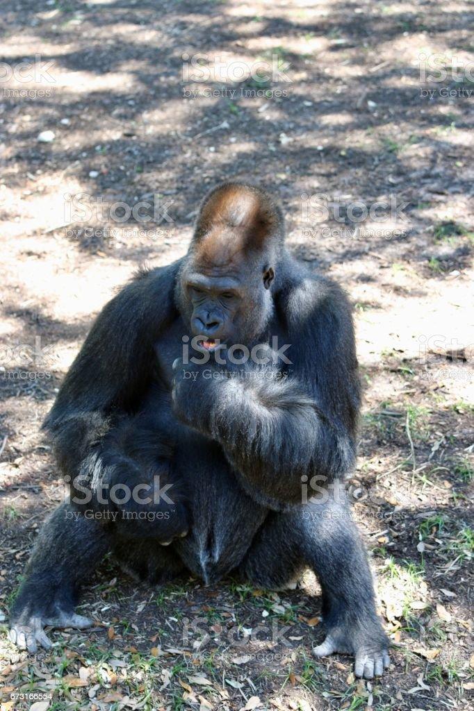 Gorilla sitting in shade stock photo