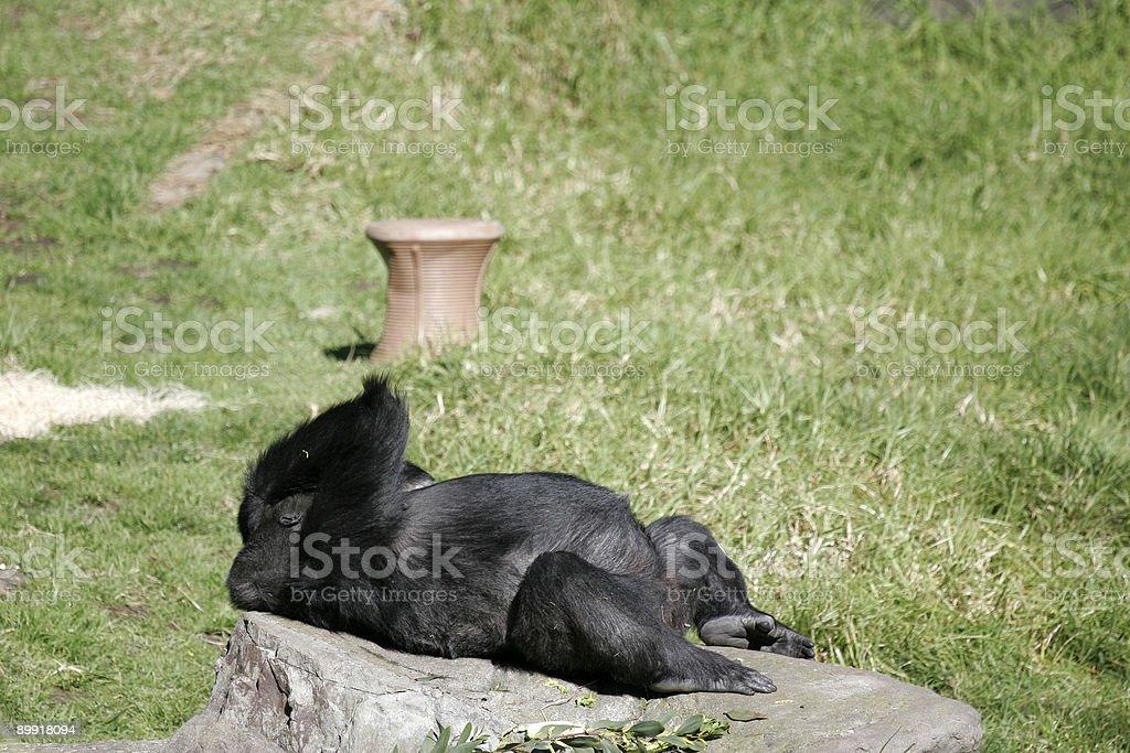 Gorilla Sleep royalty-free stock photo