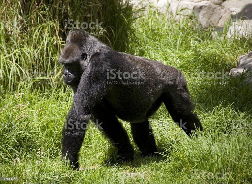 Gorilla through the brush stock photo