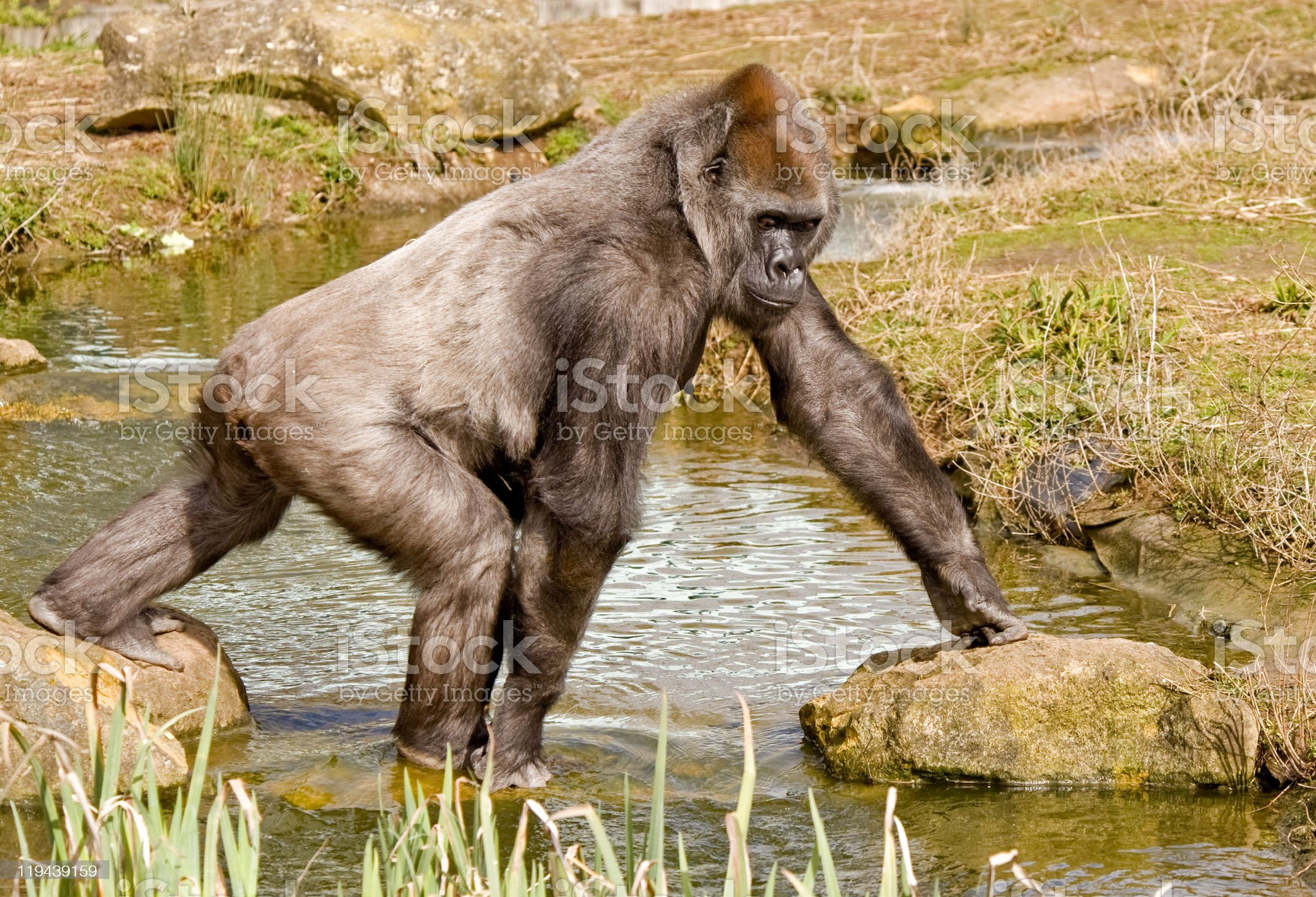 Gorilla walking over a pond royalty-free stock photo