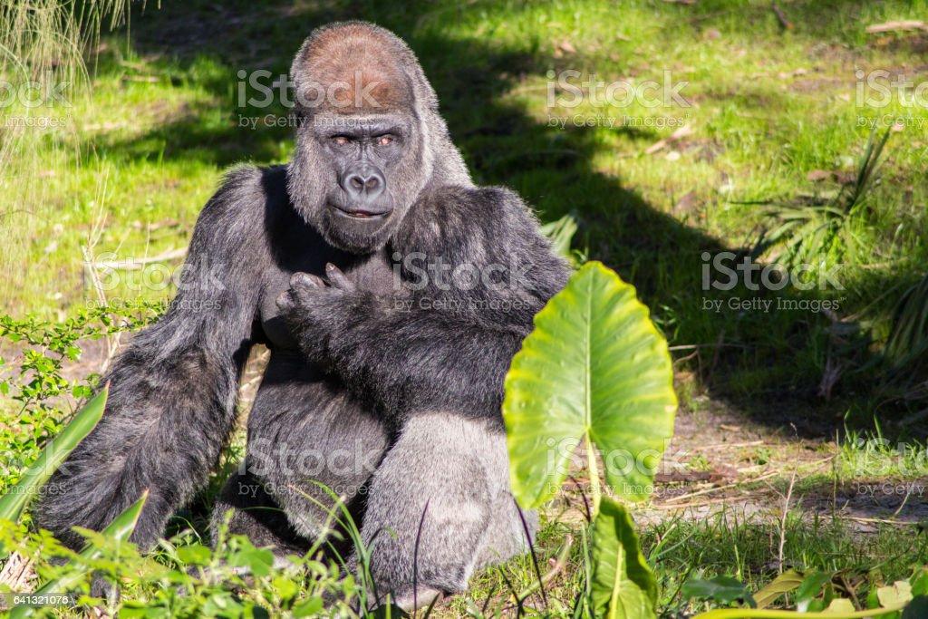 Gorilla - Wildshot stock photo