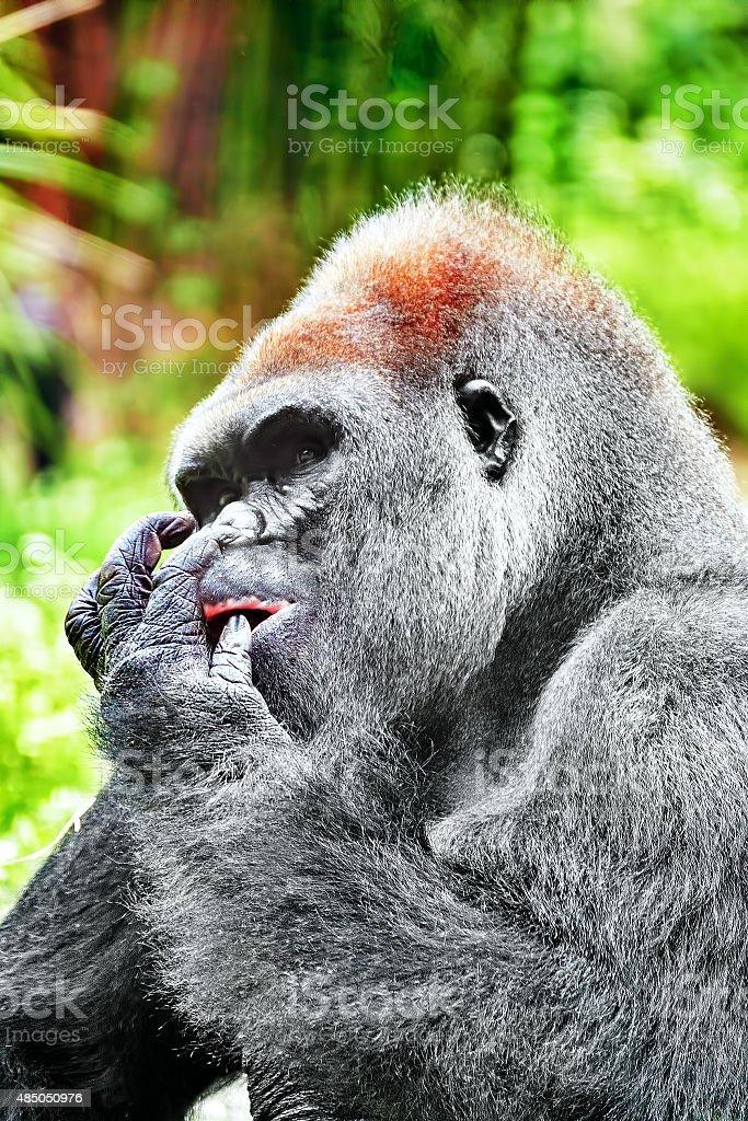 Gorilla Wisdom. stock photo