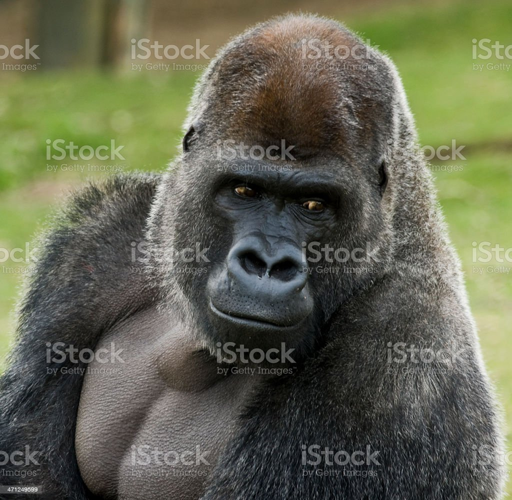 Gorilla with a look of contemplation on its face stock photo