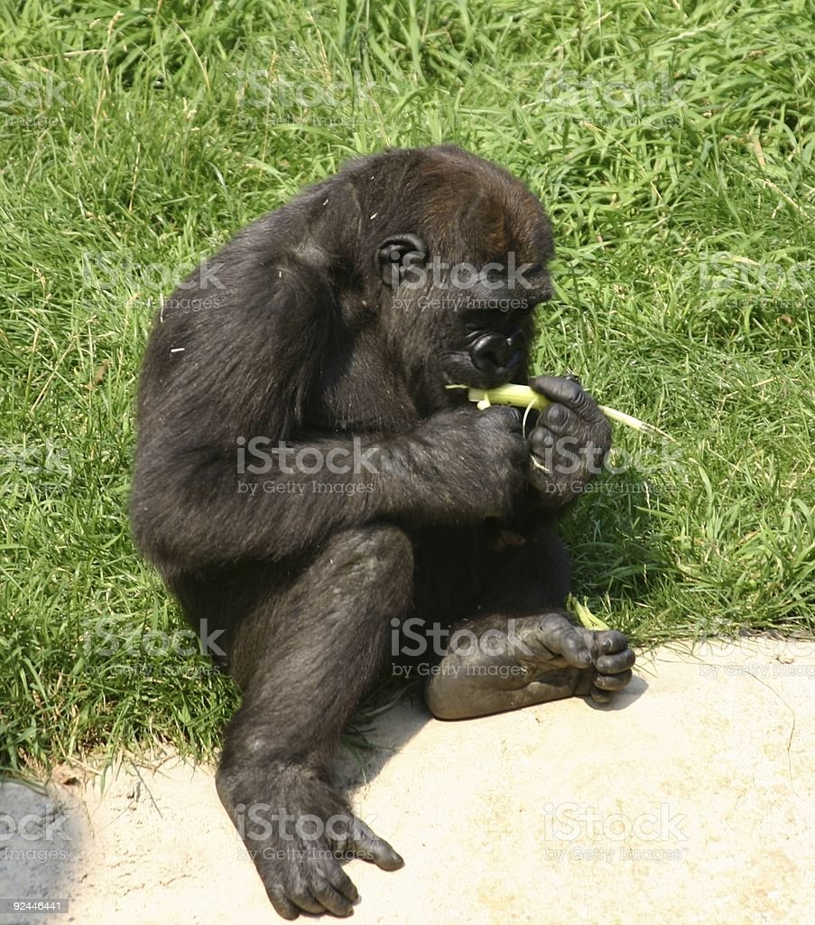 Gorilla-Female Juvenile royalty-free stock photo