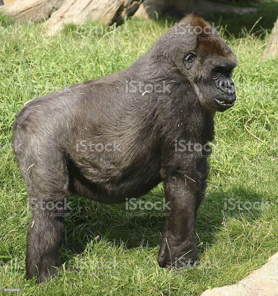 Gorilla-Male Adult stock photo