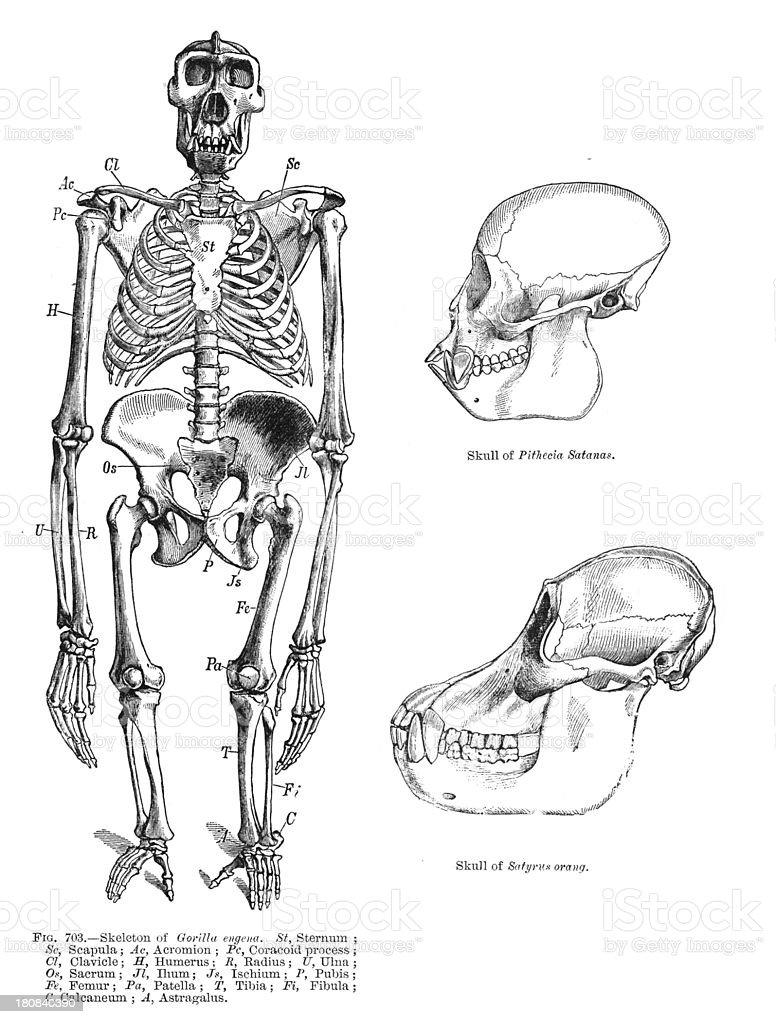 gorilla/primate skeleton royalty-free stock photo