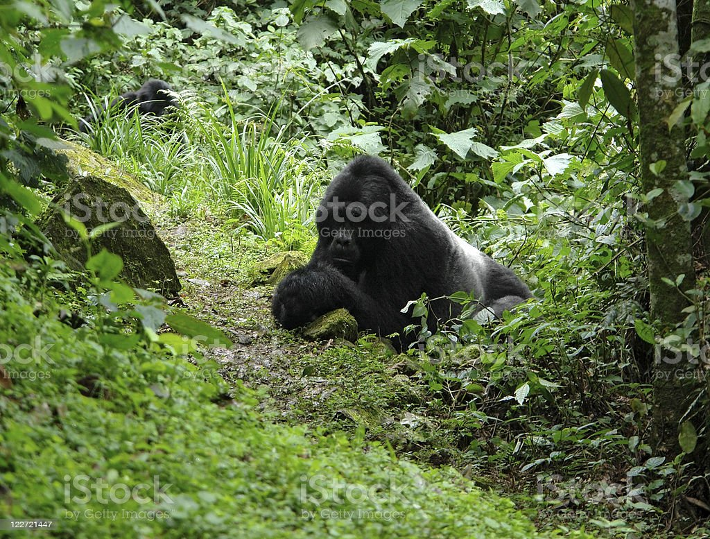Gorillas in the rain forest royalty-free stock photo