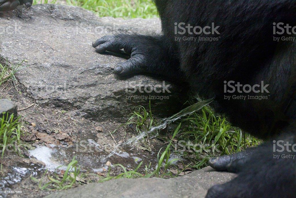 Gorilla's Urination stock photo