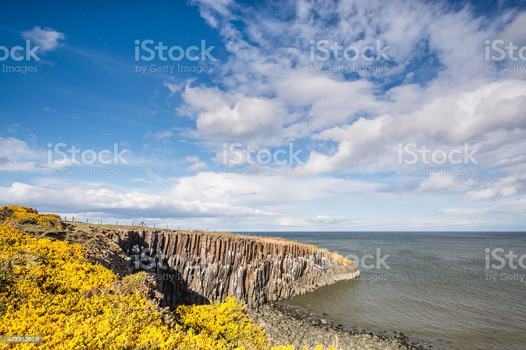 Gorse at Cullernose Point stock photo