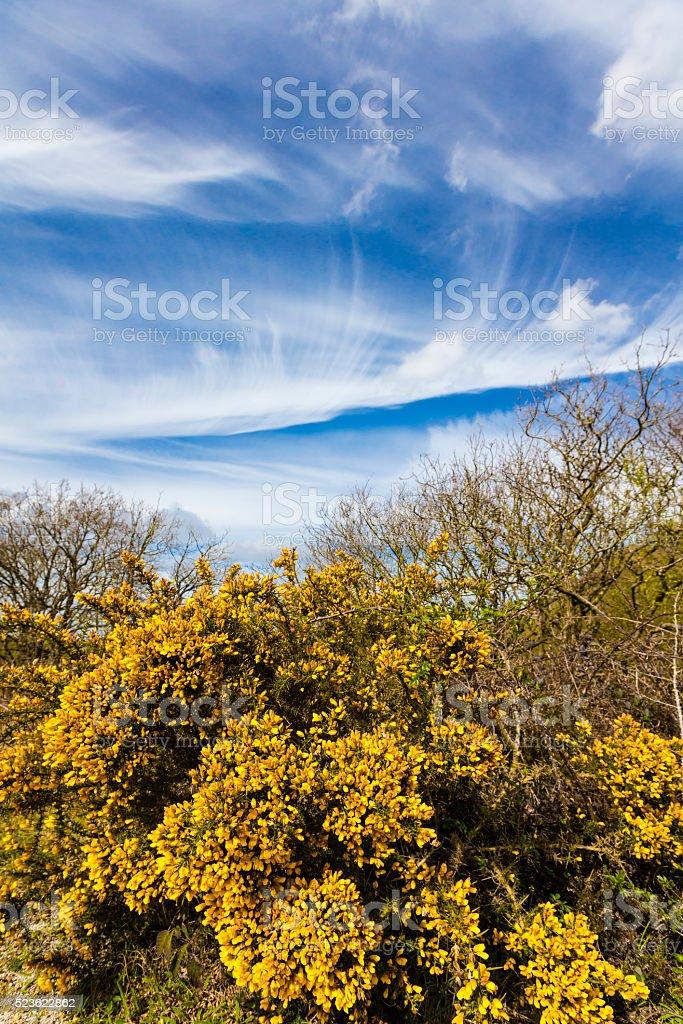 Gorse Bush Blooming stock photo