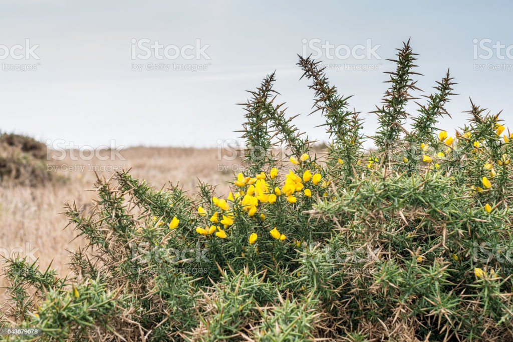 Gorse bush with flowers stock photo