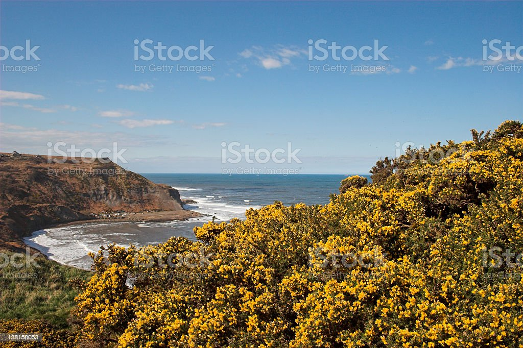 Gorse bushes on cliffs royalty-free stock photo