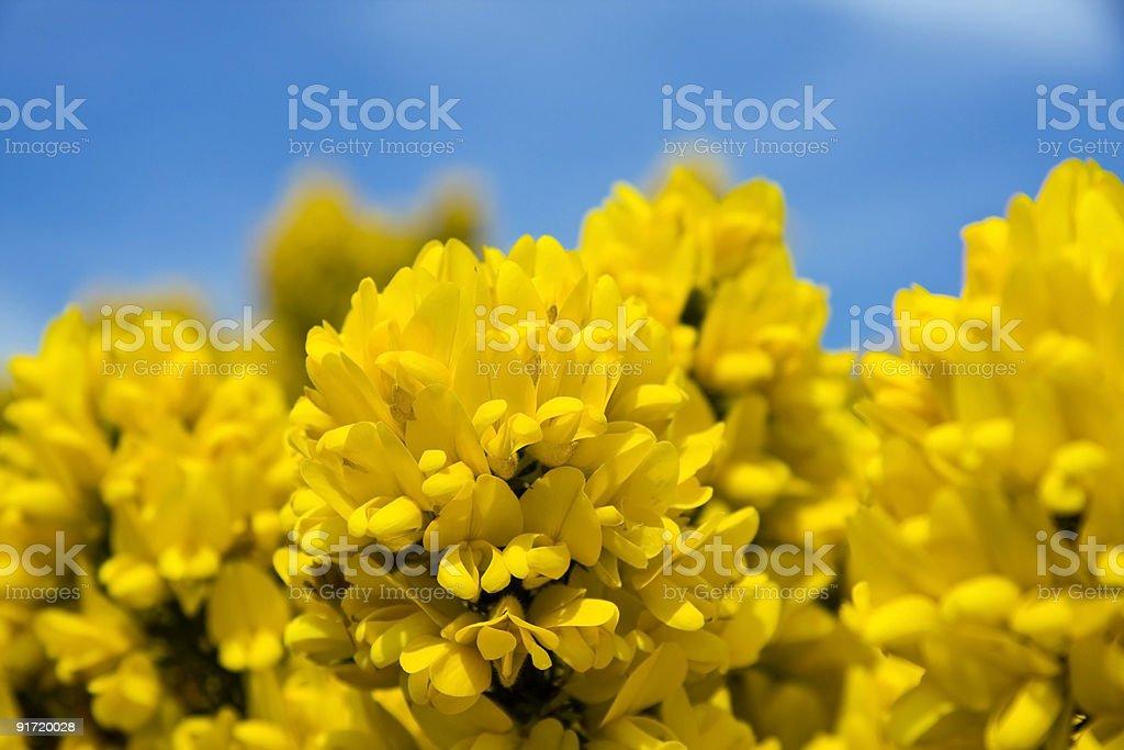Утёсник flower in bloom Стоковые фото Стоковая фотография