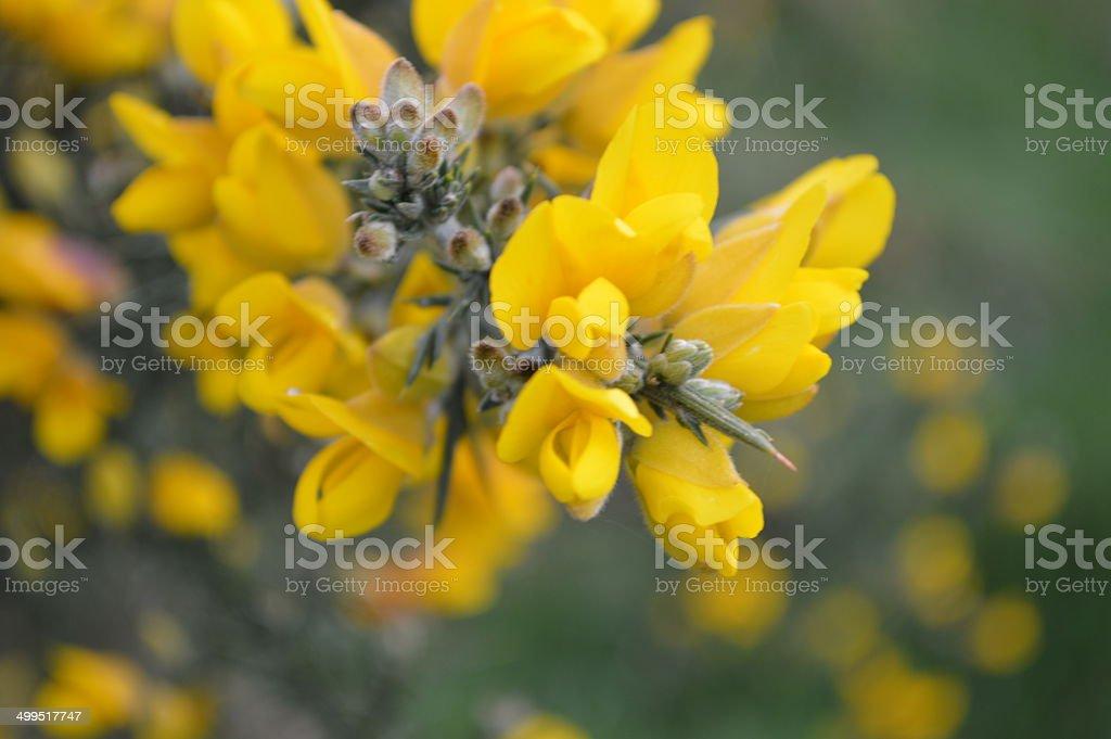 Gorse flower stock photo