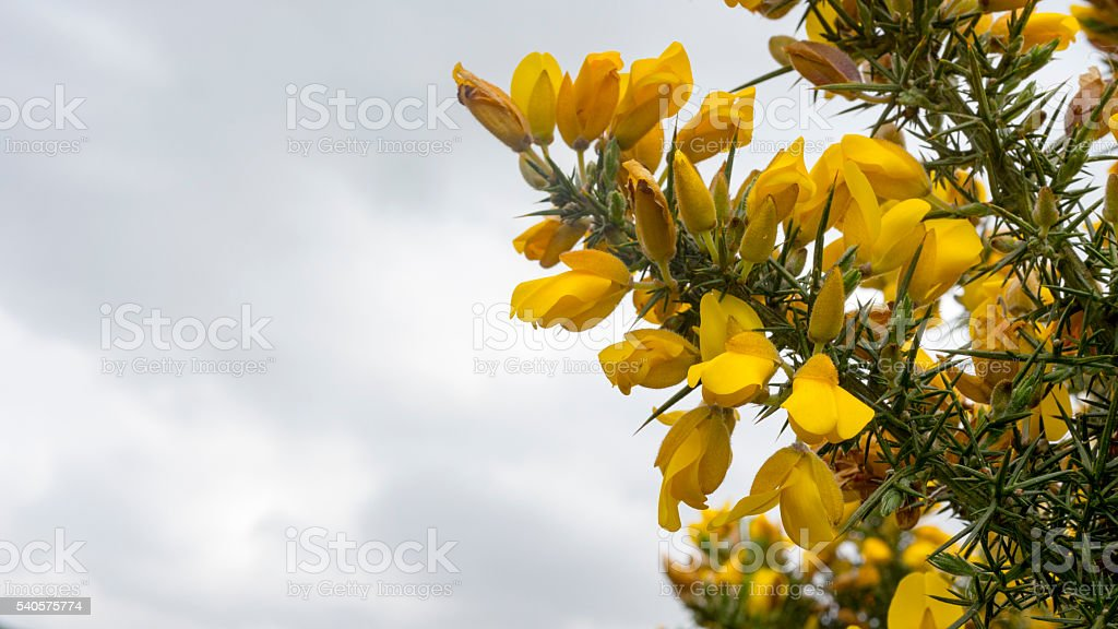 Gorse flowers grow from the spiky green stems stock photo