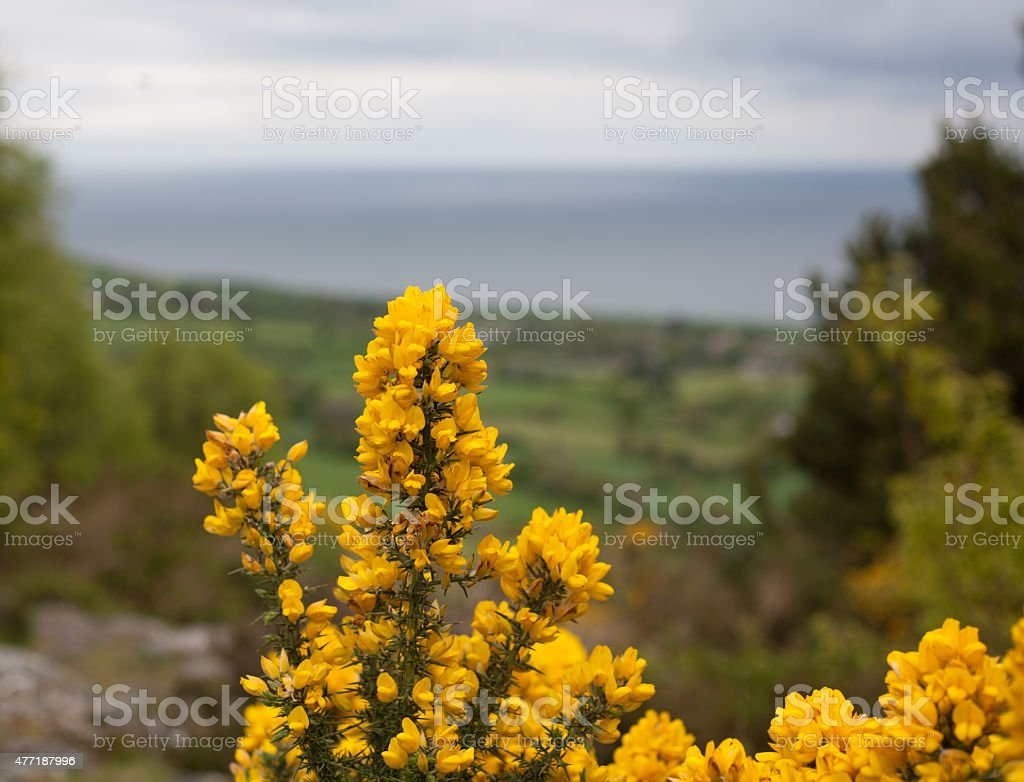 Gorse flowers royalty-free stock photo