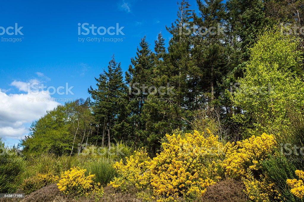 Gorse in Flower stock photo
