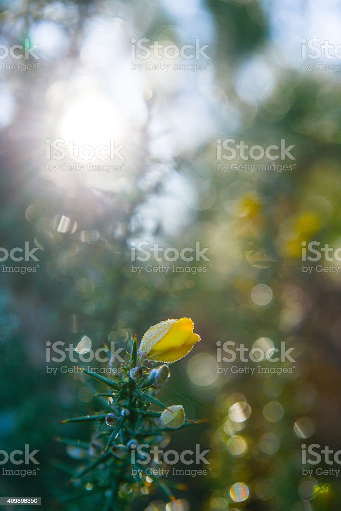 Gorse in Landes Forest, Aquitaine, France, Europe stock photo