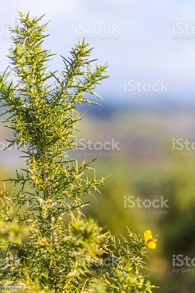 Gorse tree with flower stock photo