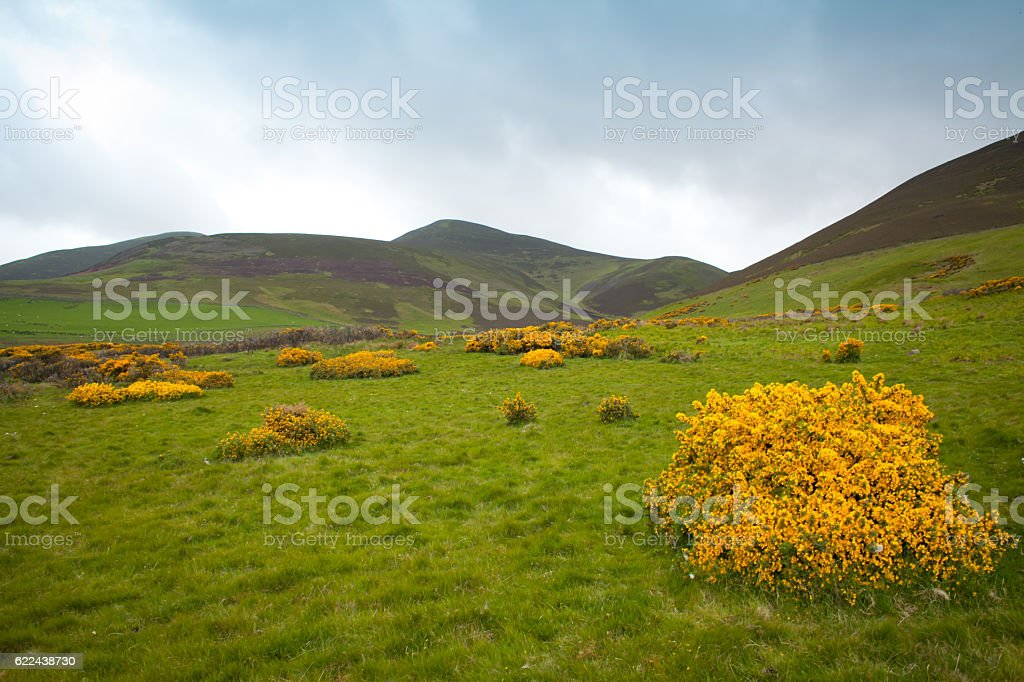 Gorse yellow flowers in Pentland Hills , Edinburgh, Scotland. stock photo