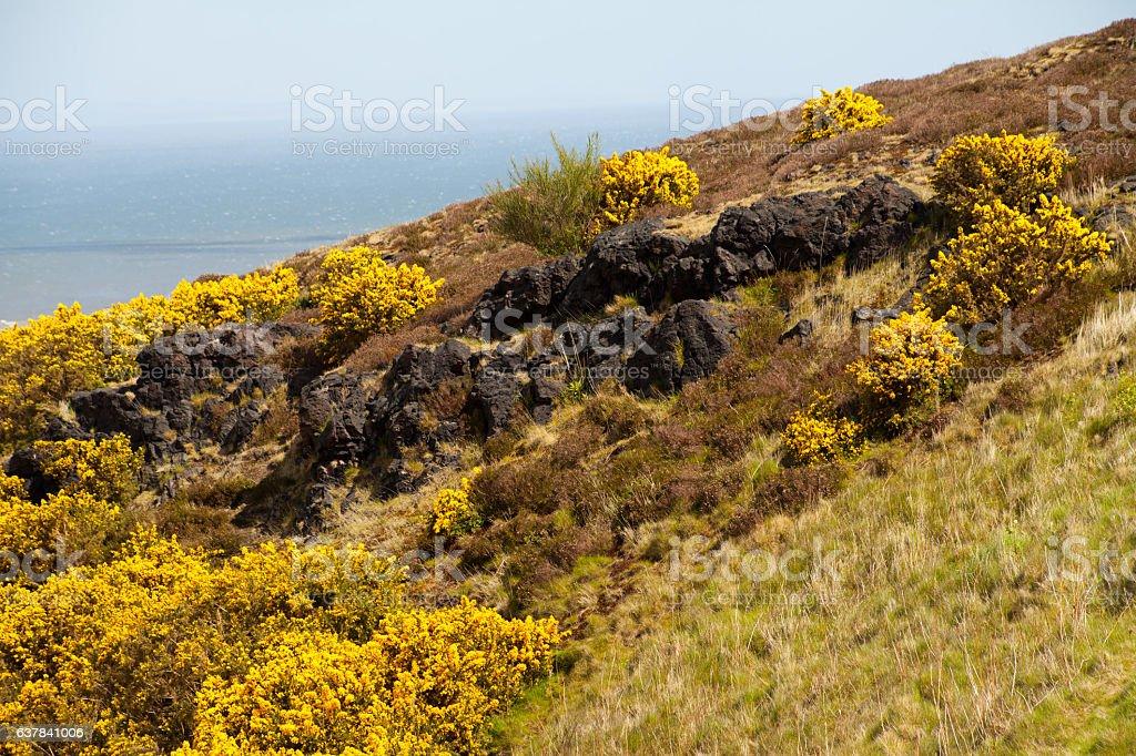Gorse yellow spring meadows in Edinburgh. stock photo