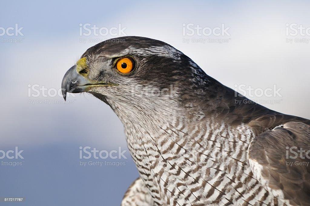 Goshawk (Accipiter gentilis) stock photo