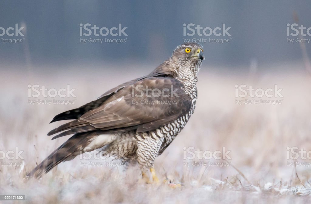 Goshawk stock photo