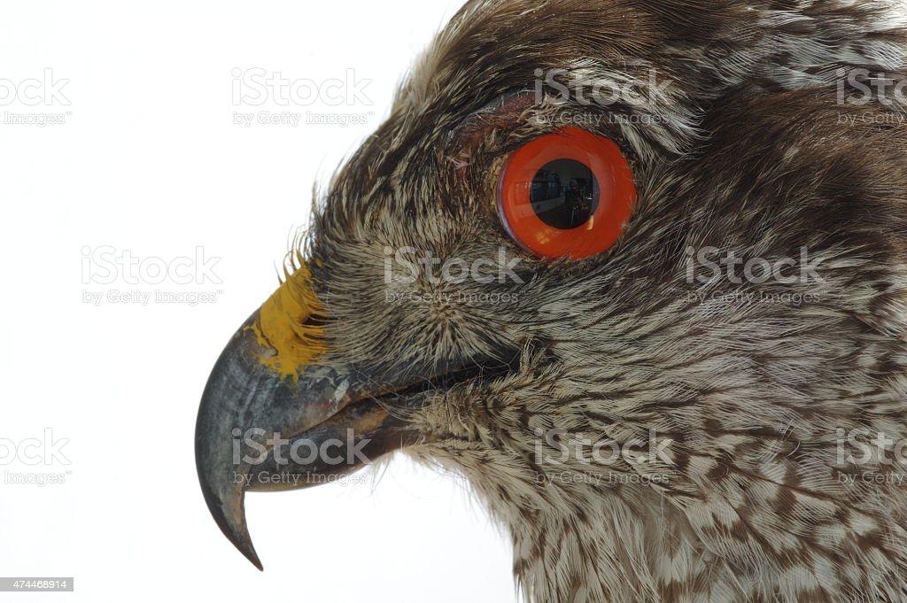 Goshawk portrait taxidermy stock photo