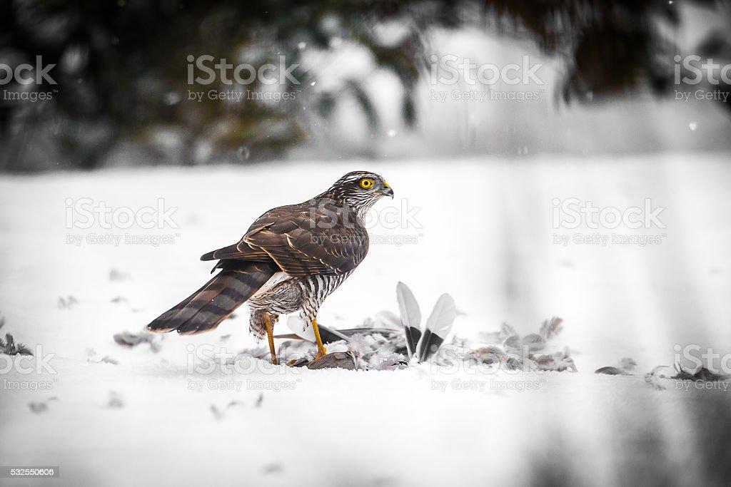 Goshawk with prey stock photo