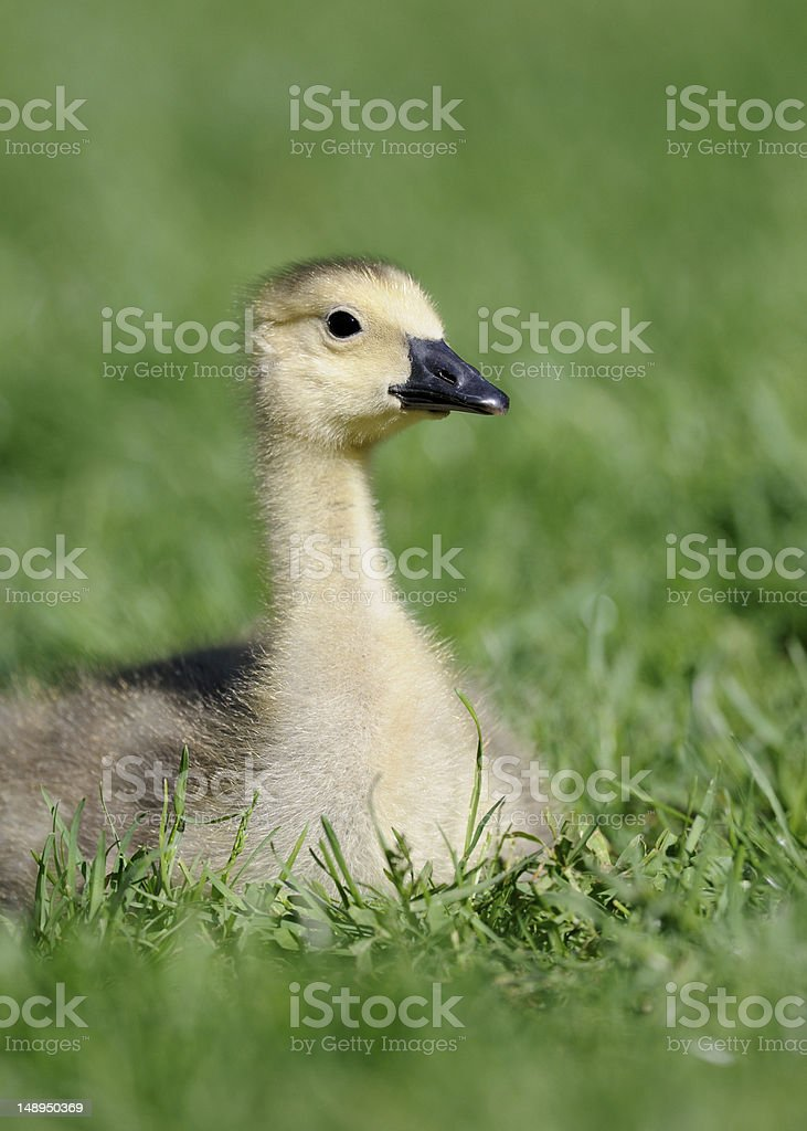 Gosling in the grass royalty-free stock photo