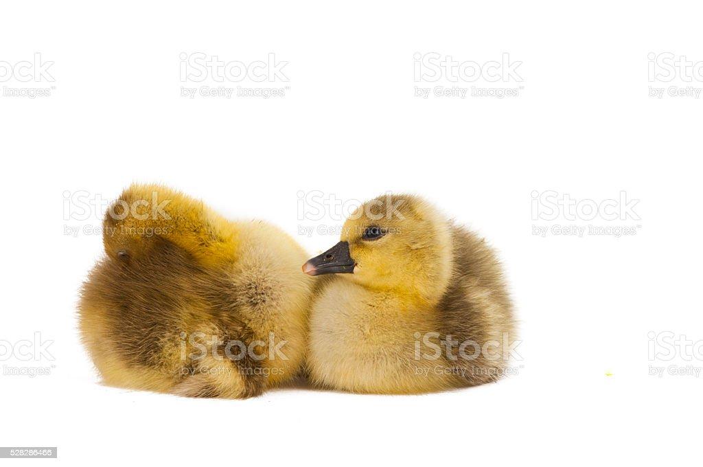gosling isolated stock photo