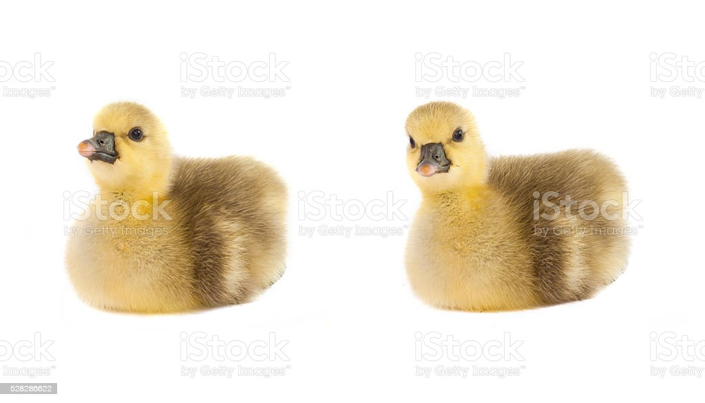 gosling isolated stock photo