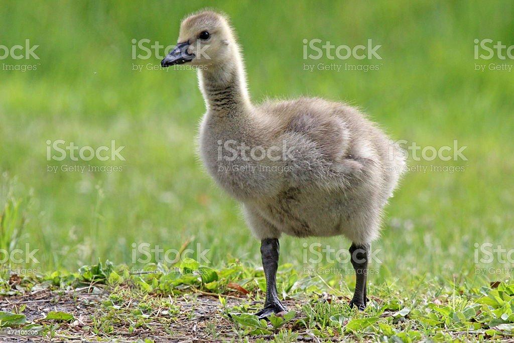 Gosling stock photo