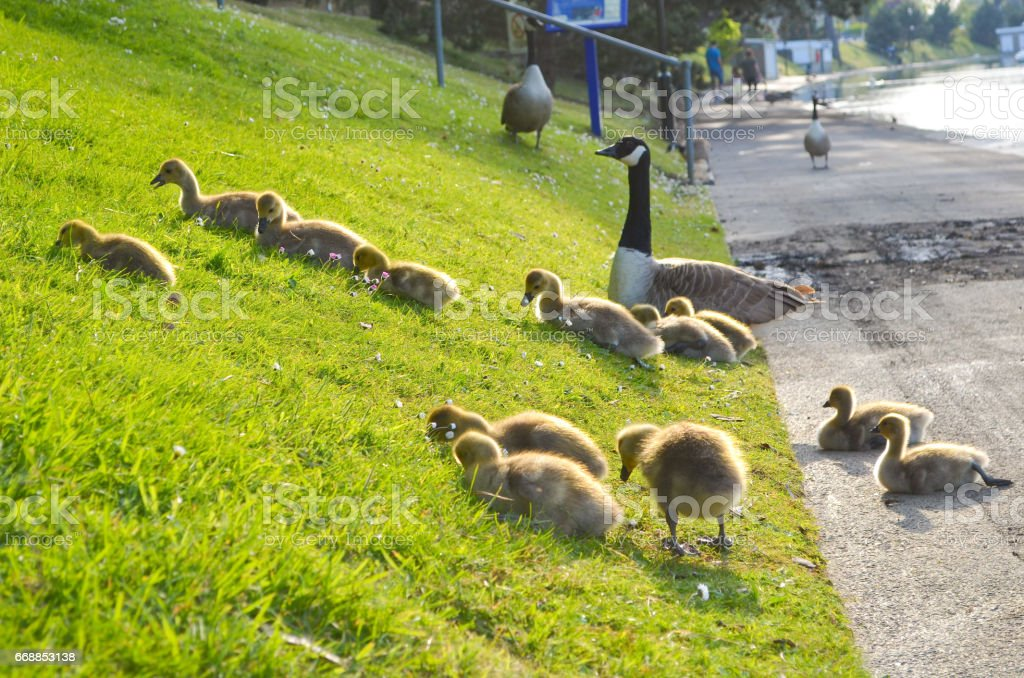 Goslings Feeding and Proud Parents stock photo