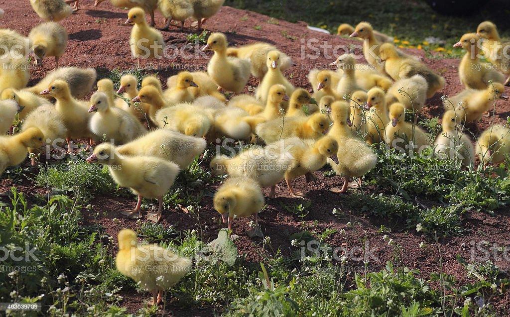 goslings foto de stock libre de derechos