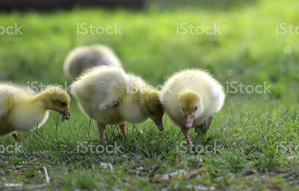 goslings, foto de stock libre de derechos